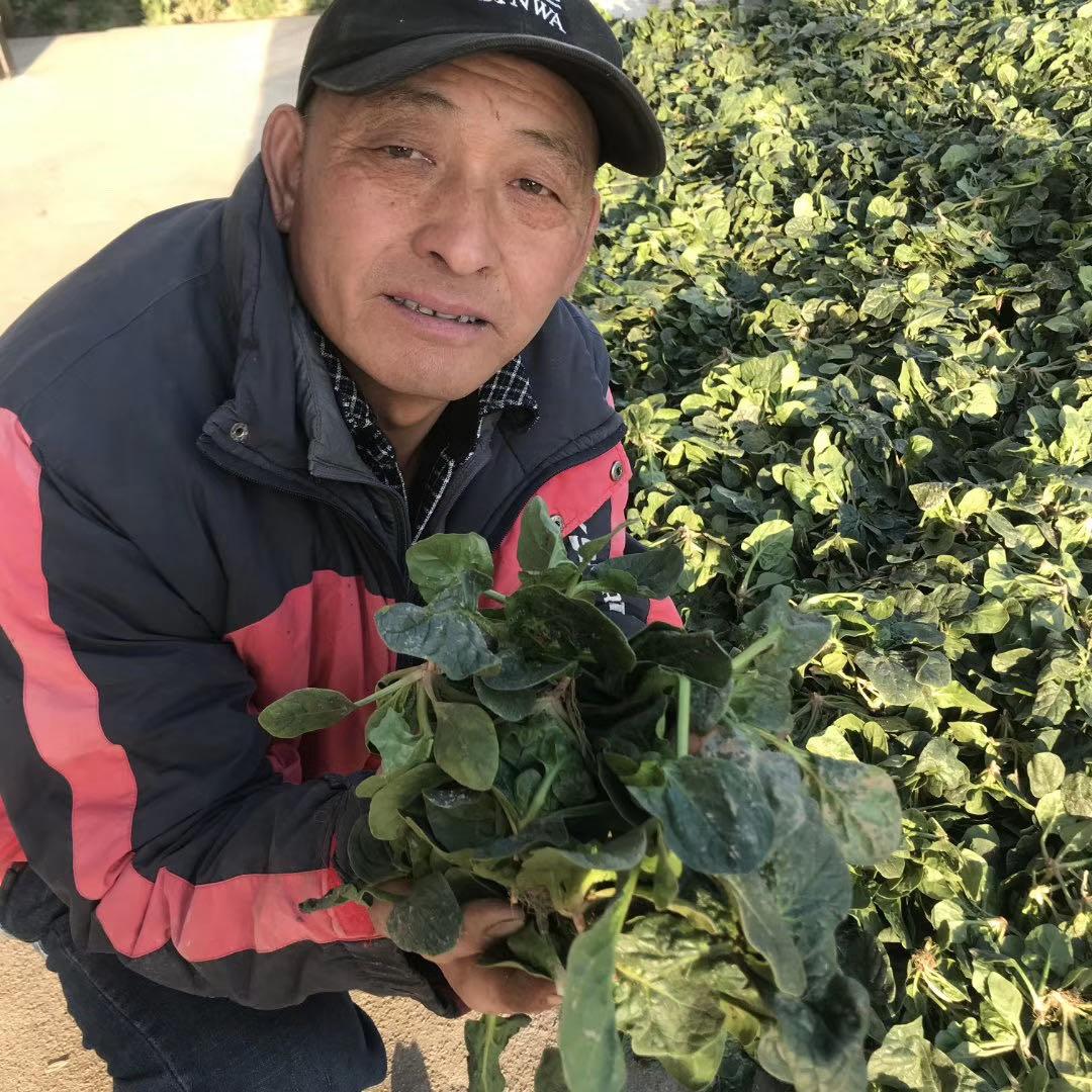 灌云纯露天尖叶型菠菜如何选择?