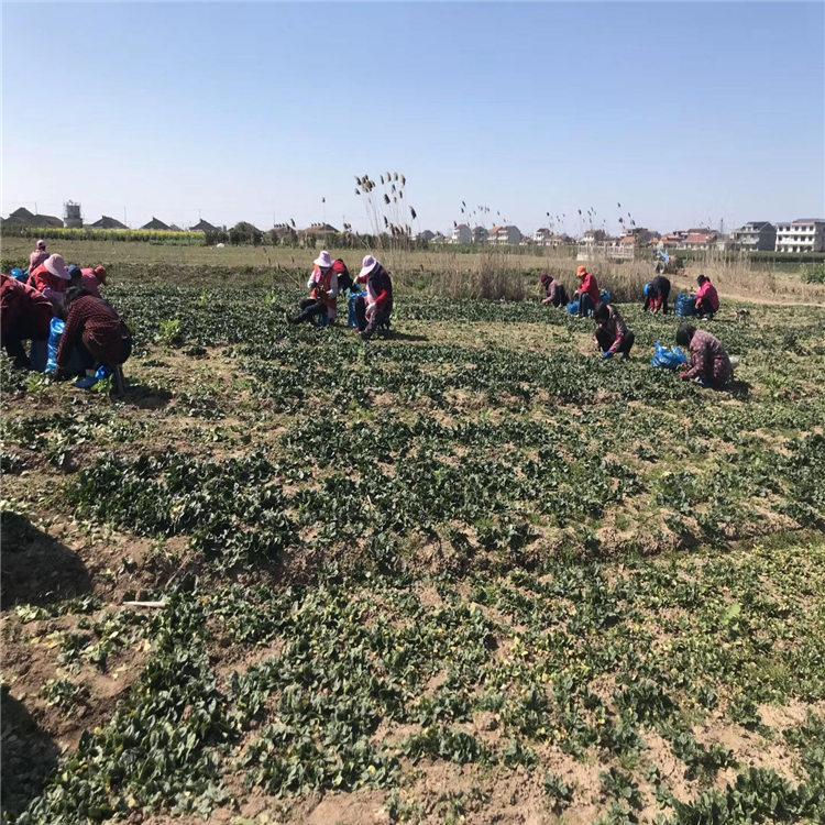 崇明菠菜种植批发价格经济效益较好